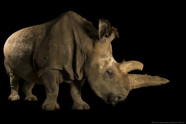 북부사각입술코뿔소ⓒ Photo by Joel SartoreNational Geographic Photo Ark.jpg